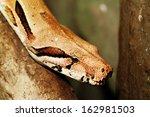 Boa Snake Head Close Up