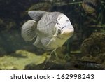 Small photo of Tropical fish Gourami, latin names Trichogaster, Colisa, Sphaerichthys, lives in Southern-Eastern Asia.
