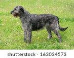gray irish wolfhound in a...   Shutterstock . vector #163034573