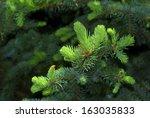 Fresh Needle Leaves On Pine...