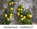 lemons hanging on a wall ... | Shutterstock . vector #163066127