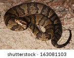 Small photo of Eastern Cottonmouth (Agkistrodon piscivorus)