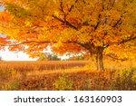 maple tree in golden fall colors | Shutterstock . vector #163160903