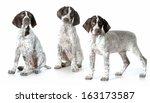 Three Puppies   German...