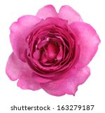 Stock photo yves piaget rose isolated on white background 163279187