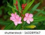 Sweet Oleander  Rose Bay Flowe...