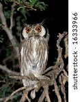 A White Faced Owl  Outs...