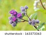 Flowering Great Burdock ...