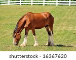 Young Clydesdale Horse On A...