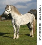 White Welsh Mountain Pony With...