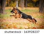 German Shepherd Dog Playing In...