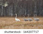 Whooper Swans In The Field