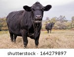 Black Cow Eating Hay