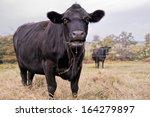 Black Cow Eating Hay