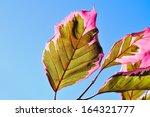 Tri Color Beech  Leaf Detail
