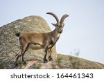 Wild Goat On Top Of A Rock ...