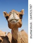 Head Of A Camel On A Backgroun...