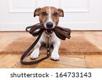 Stock photo dog with leather leash waiting to go walkies 164733143