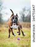 Boxer Dog Playing With Ball