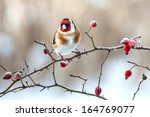 European Goldfinch With Frozen...