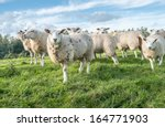 white sheep with brown spots... | Shutterstock . vector #164771903