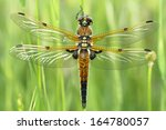 Four Spotted Chaser  Libellul...