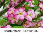 Pink Flower  Adenium Obesum...
