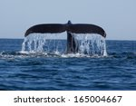 humpback whale  megaptera... | Shutterstock . vector #165004667