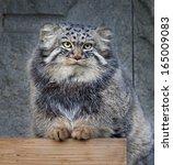 Animal Portrait Of A Pallas'...