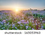 field of blooming lacy phacelia ... | Shutterstock . vector #165053963