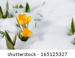 Snowdrops Crocus Flowers In Th...