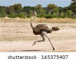 Ostrich Running Across The...