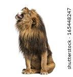 Lion Roaring  Sitting  Panther...