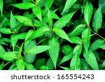 Leaves Kesum Or Persicaria...