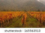 Plantation Of Grapes In Autumn...