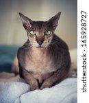closeup portrait of peterbald... | Shutterstock . vector #165928727
