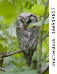 Small photo of Rauhfusskauz, Aegolius funereus, Boreal owl