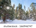 Snow Covered Evergreen Trees O...