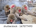 Macaques Bath In Hot Springs I...