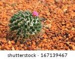 ������, ������: Golden ball cactus