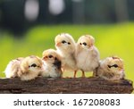 babies chicken on nature... | Shutterstock . vector #167208083