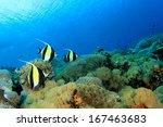 moorish idol fish on coral reef ... | Shutterstock . vector #167463683