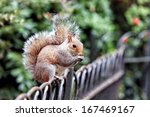 Squirrel In St James Park ...