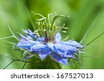 Small photo of love-in-a-mist blue flower