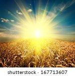 Field Of Grass. Meadow Wheat...