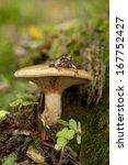 Inedible Mushroom  Paxillus...