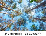 Pines In The Forest Seen From...