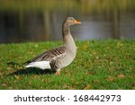 Adult Wild Goose On The Grass...