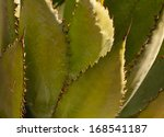 Small photo of Agave shawii in Close up in Tucson, Arizona