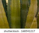 Small photo of Agave shawii close up in Tucson, Arizona